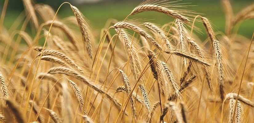 Grain. Photo: Shutterstock.