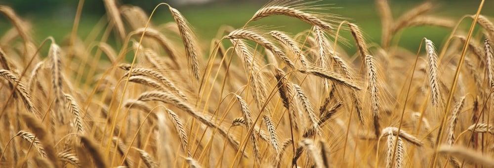 Grain. Photo: Shutterstock.