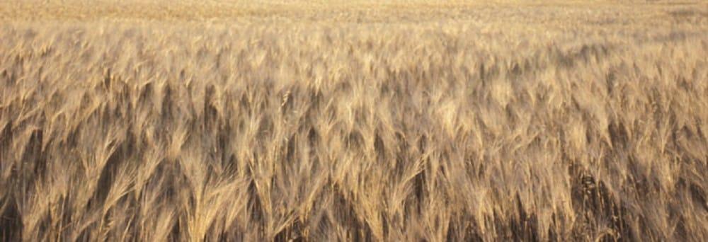 Grain. Photo: Ingram Publishing