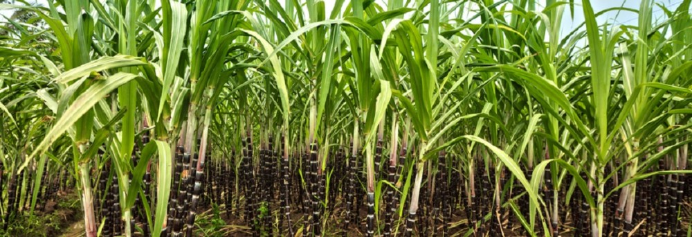 Katter's Australian Party member Shane Knuth is pushing for re-regulation of the Queensland sugar sector. Photo: Shutterstock