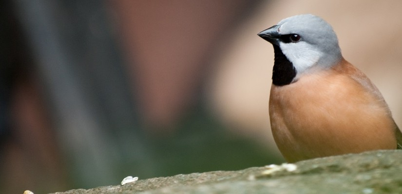 Black-throated finch. Photo: Creative Commons / Chris Williamson