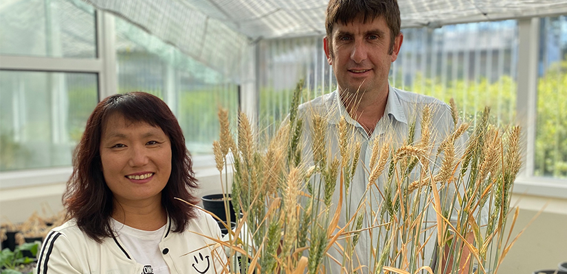 Wheat yields in Western Australia's wheatbelt have remained unchanged, even with more than 100 years of rainfall decrease, according to new research from the CSIRO.